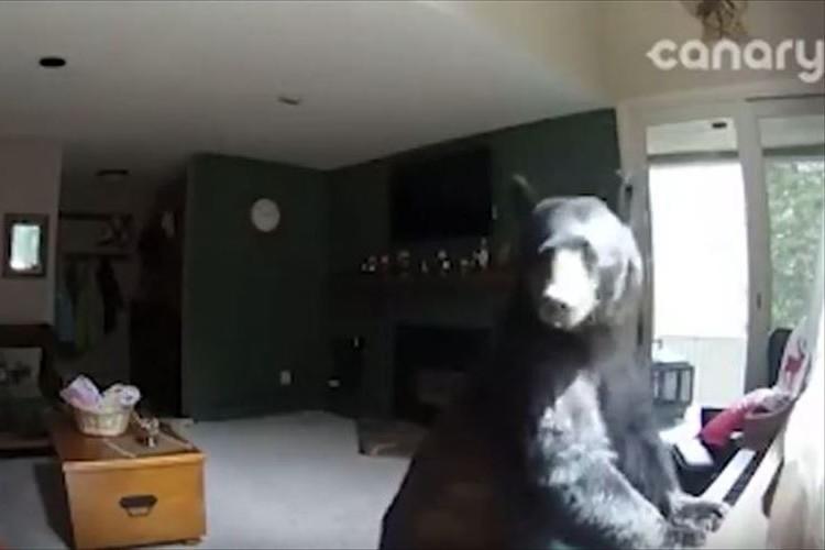 なんと…クマが民家に侵入!! 部屋をウロウロ歩いて物色したあげく驚きのアクション!!