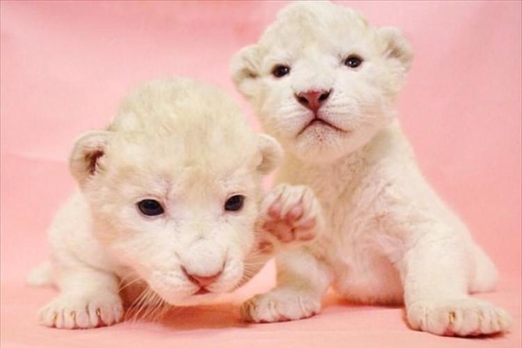 ホワイトライオン 双子の赤ちゃんが誕生!! ミルクを夢中にゴクゴク飲む姿は必見♪