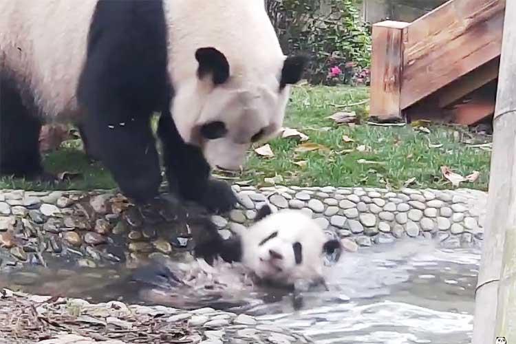 言うことをきかない子パンダに「お風呂に入りなさい!!」と何度も繰り返す母パンダに共感