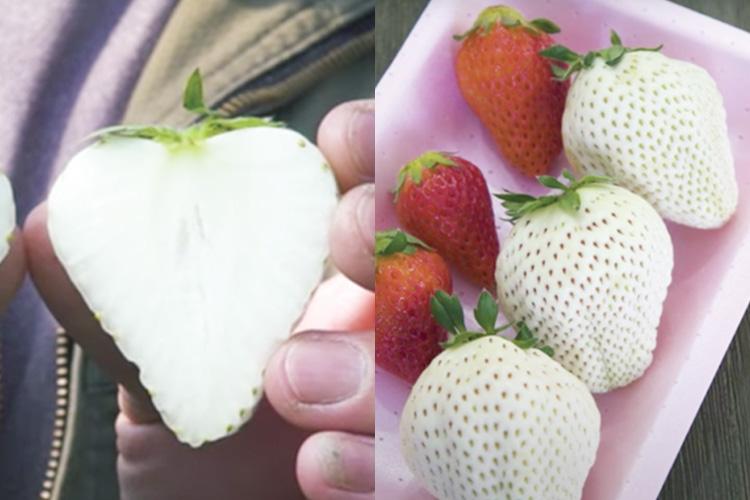 """「赤いちご」よりも糖度が高くてあま~い """"白い宝石""""のような「白いちご」食べてみたい!!"""