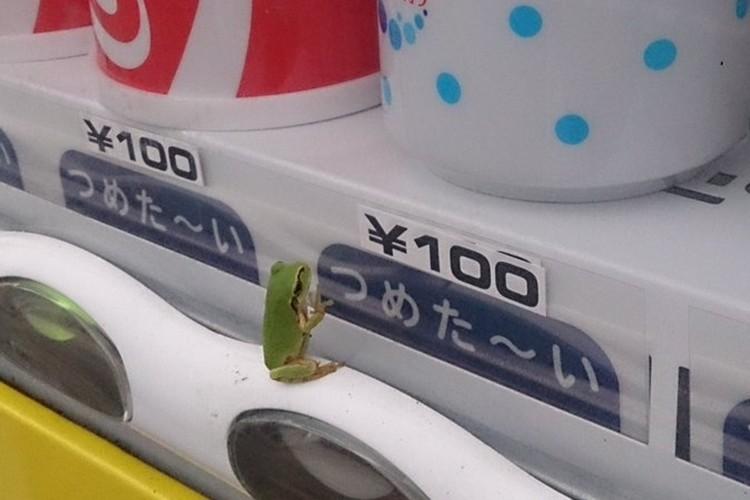 自販機の飲み物を飲みたそうに眺めている自販機ガエルが超かわいい