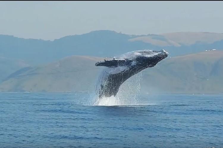 貴重映像!推定体重40tのザトウクジラが全身を水面から出したジャンプが撮影される