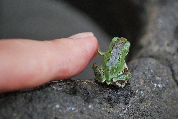 イエーイ…(小声)♪カエルの小さなハイタッチが可愛すぎるとTwitterで話題に