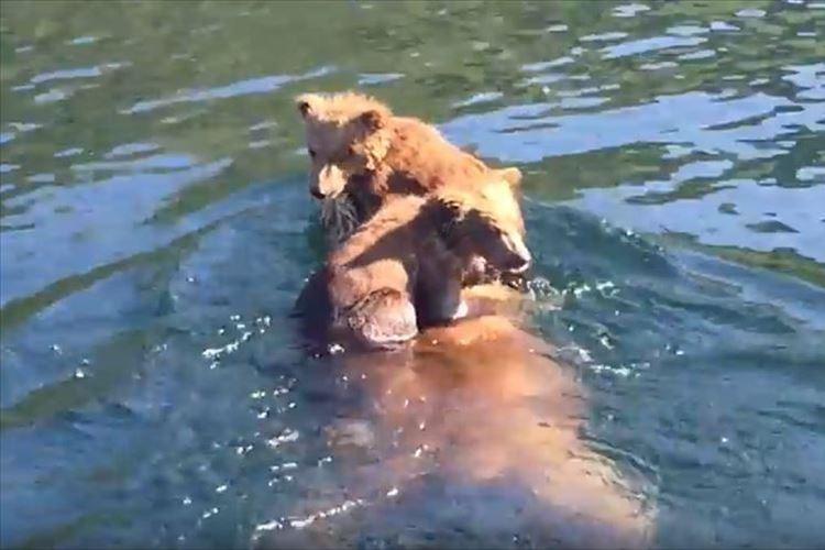 2匹の子グマを背中に乗せて湖を横断!! 子供を守る母親グマの泳ぎっぷりがたくましい!!