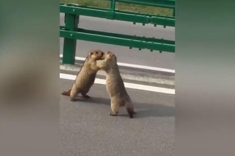 【動画】2匹のリスが路上でつかみ合いの大ゲンカ!緊迫の攻防の結果は…