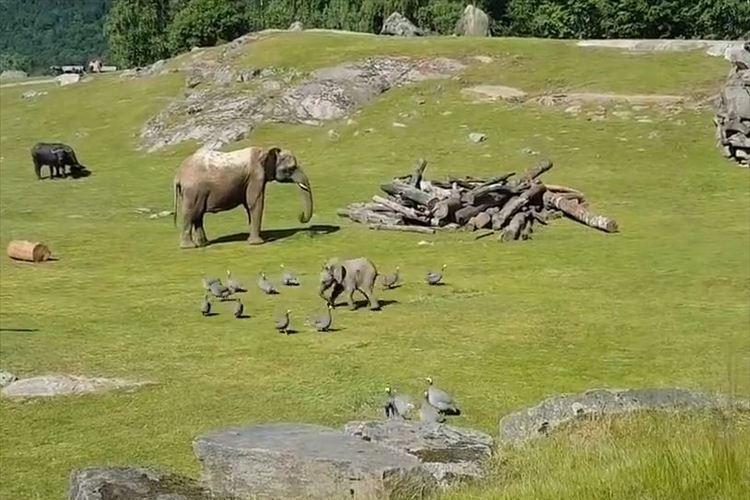 「なんてカワイイの!!」ゾウの赤ちゃんが鳥を夢中で追いかけ→すってんころりん…そして親のもとへ