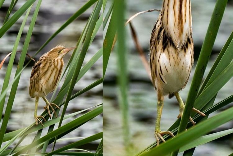 """夏に見られる鳥""""ヨシゴイ""""の首の伸縮率が半端なさすぎる!"""