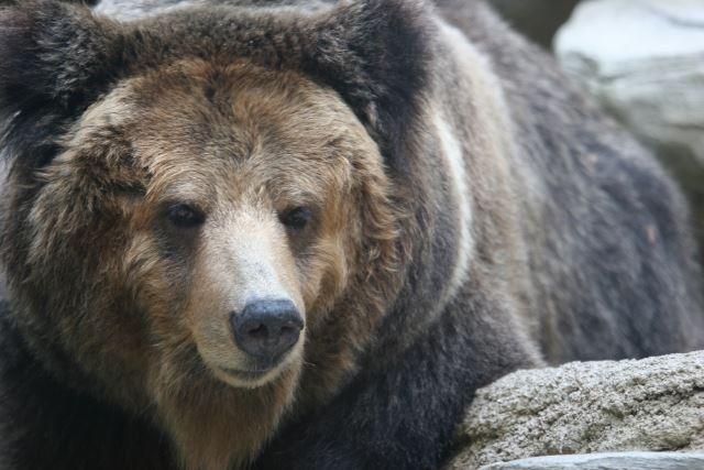 bear_free_640