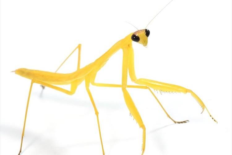 珍しい黄色いカマキリに「かわいい!」など多くの反響…竜洋昆虫自然観察公園