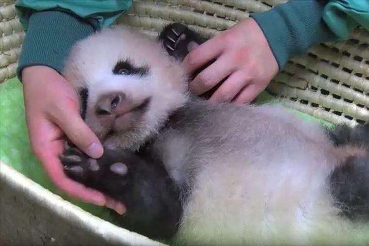 【動画】ころころ…むにゃむにゃ…身体測定時のパンダの赤ちゃんが可愛すぎる♪