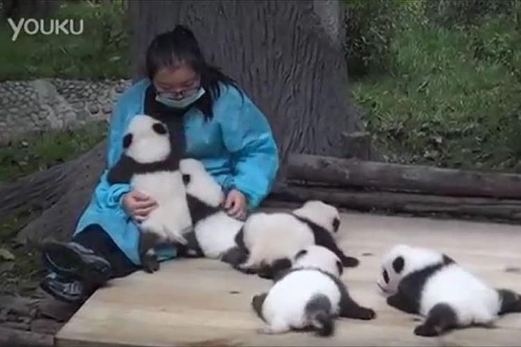 パンダの赤ちゃんを抱っこするだけで給料がもらえる!中国にある羨ましい仕事