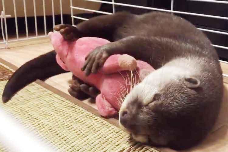 ぬいぐるみをぎゅーしながら眠り落ちるカワウソが超可愛いと話題!