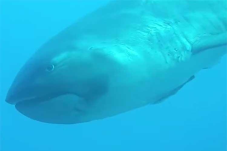 大地震との因果関係説も?幻のサメ「メガマウス」…優雅に泳ぐ姿が撮影された貴重映像公開