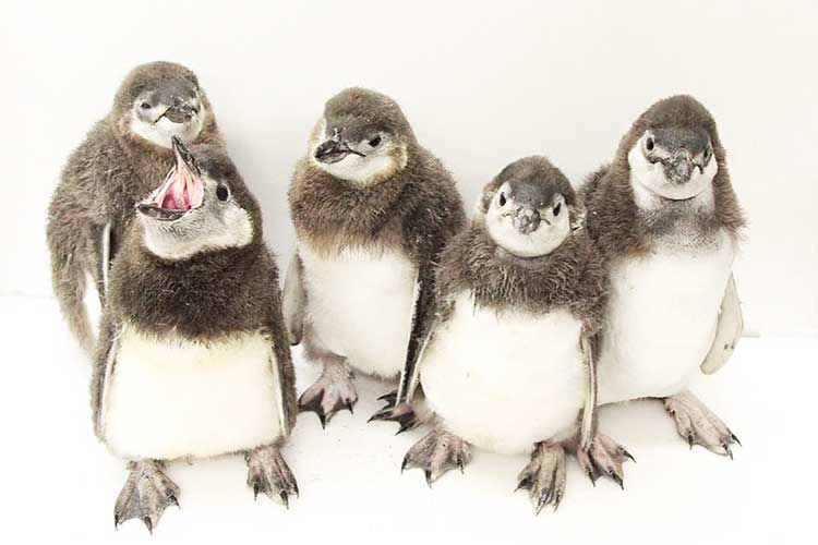 今しか観られない貴重な姿!ペンギンの赤ちゃんが「すみだ水族館」でプールデビュー!