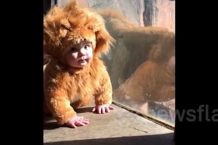 【動画】ライオンのコスプレを着た赤ちゃんに興味津々のライオン→お茶目なアクションを敢行