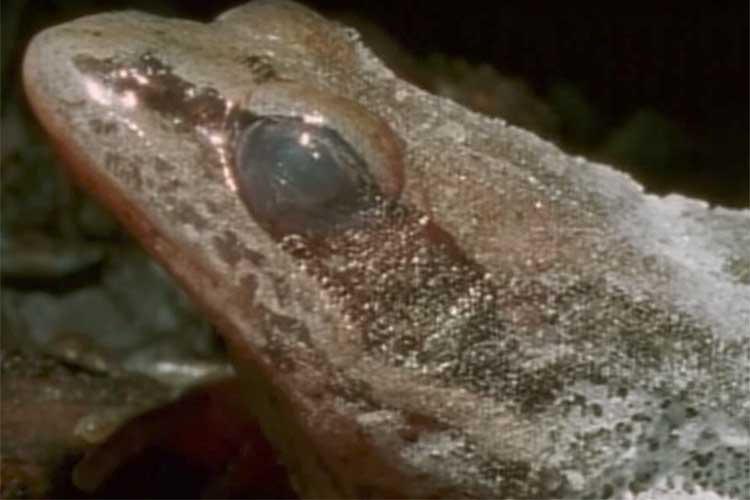 人間の冷凍保存のモデルに?氷点下16度の極寒で凍眠するアメリカアカガエルの生命力が凄すぎる!