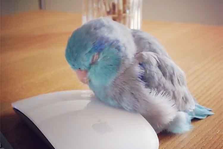 マウスが枕に…モフモフ増量、気持ちよ~く眠りに落ちるインコのお昼寝に癒やされる