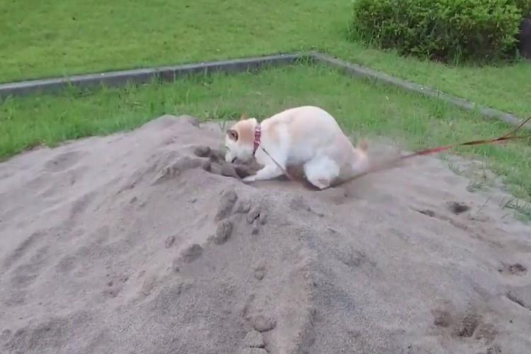 砂場で「ヒャッハー!」と興奮するワンちゃん、突然我に返る姿が面白い!