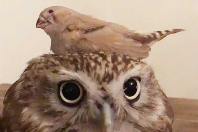 「ここはどこ?」フクロウの上に着地したキンカチョウ…それでも動じないフクロウが可愛いと話題に!