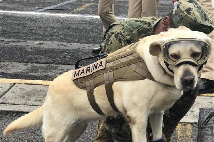 国民から愛されている救助犬フリーダ…メキシコ地震で52名もの命を救う活躍