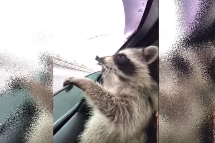 ドライブ中に降ってくる雨粒を必死に食べようとするアライグマがかわいい