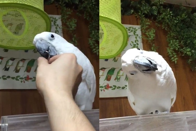 首を傾げるオウム、見てると釣られて自然と首を傾げちゃう動画がかわいすぎ!