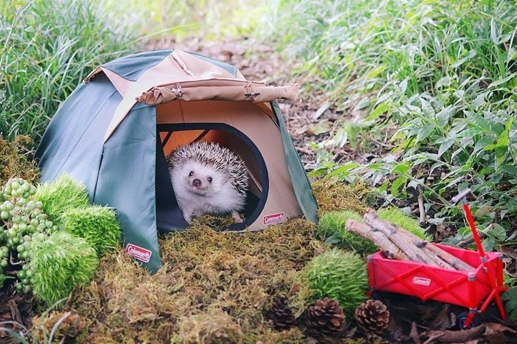 """海外でも話題!キャンプするハリネズミの""""あずき""""がかわいすぎる!"""