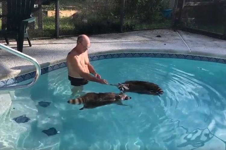 犬かきならぬ「アライグマかき」?プールでペットのアライグマ2匹が泳ぐ様子がカワイイ♪