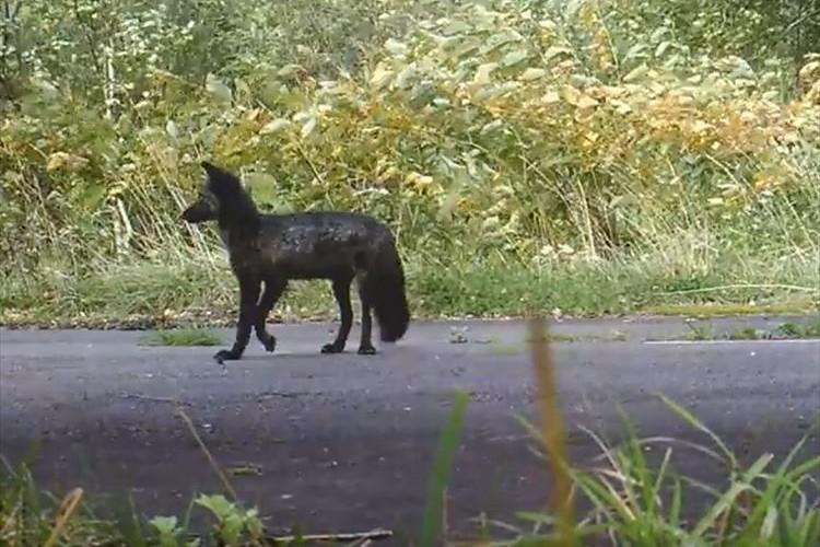 北海道で黒いキタキツネが発見されて話題に!一見すると犬にも見える!?