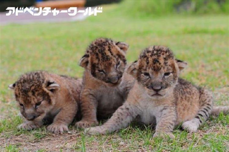 こりゃたまらん!三つ子の赤ちゃんライオンの抱っこイベントが開催…白浜アドベンチャーワールド