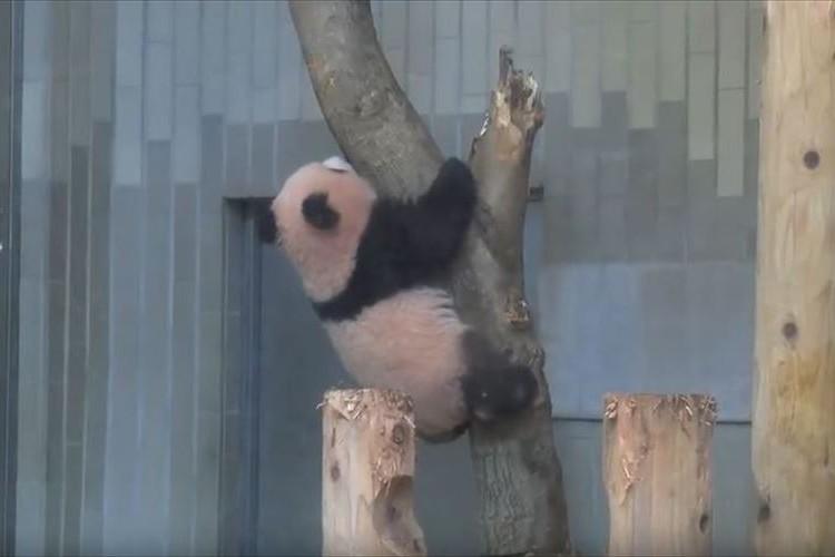 木登りに挑むも…ひゅ~んと落ちちゃった 上野動物園のシャンシャンの可愛さにキュン死