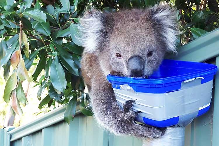 年末に向かい何かと忙しくなる時期ですが…コアラがひたすら水を飲む姿に癒されます♪