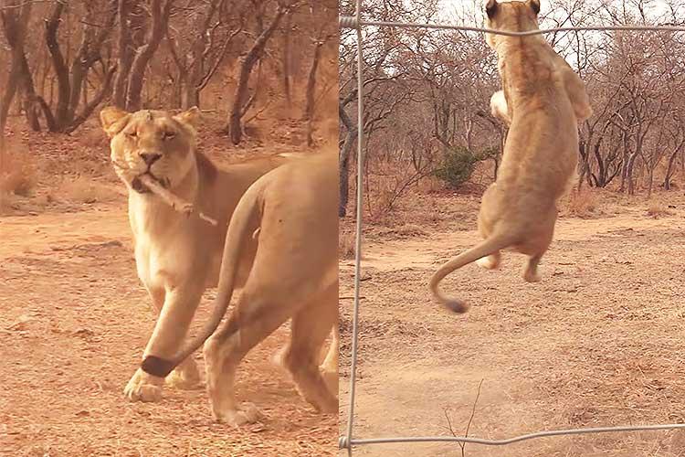 それ…犬の遊びじゃなかった?「取って来い」で無邪気に遊ぶライオンが話題に!