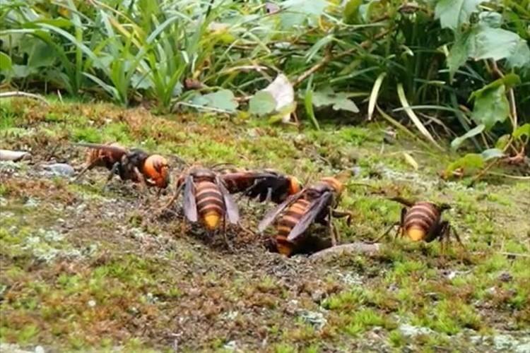 【動画】クロスズメ蜂の駆除&オオスズメ蜂の捕獲シーンが凄いと話題に!