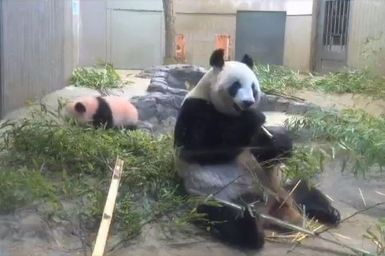 「ハッ!大丈夫かしら!?」後ろにいる我が子に驚く母パンダのリアクションが人間みたい