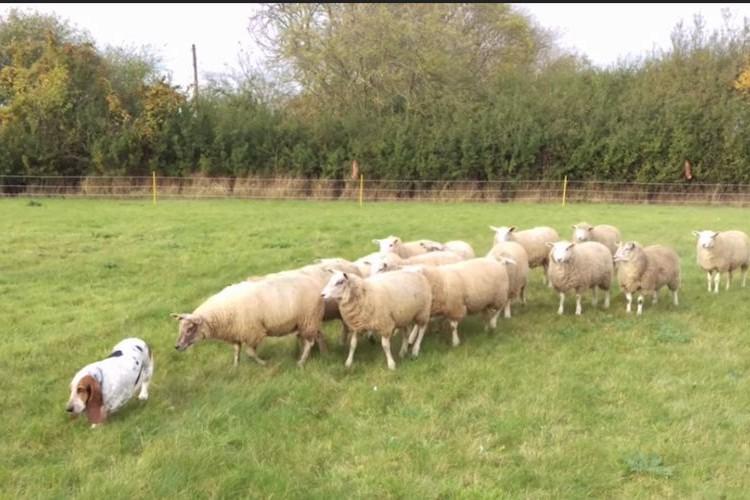 ある意味、牧羊犬かも!?小さなお尻で羊の群れを誘導するバセット・ハウンドが可愛い