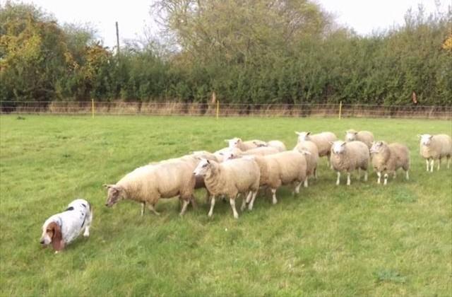 sheep_main