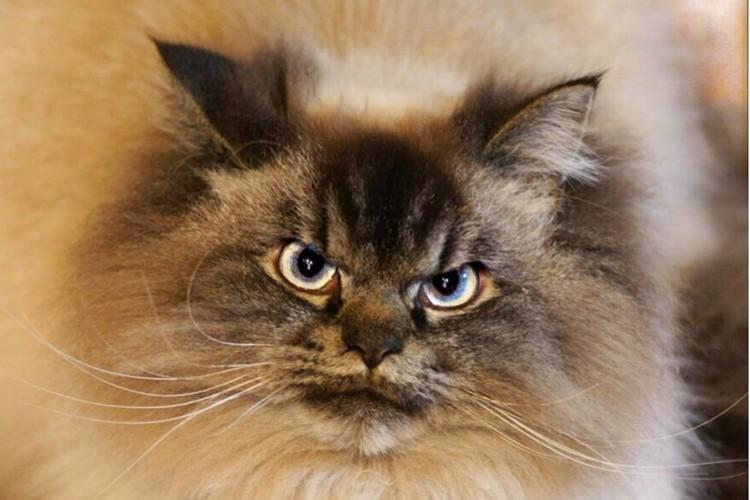 常に怒ってる顔の猫ちゃんラグドールとヒマラヤンのミックス猫のマーリンがかわいい!