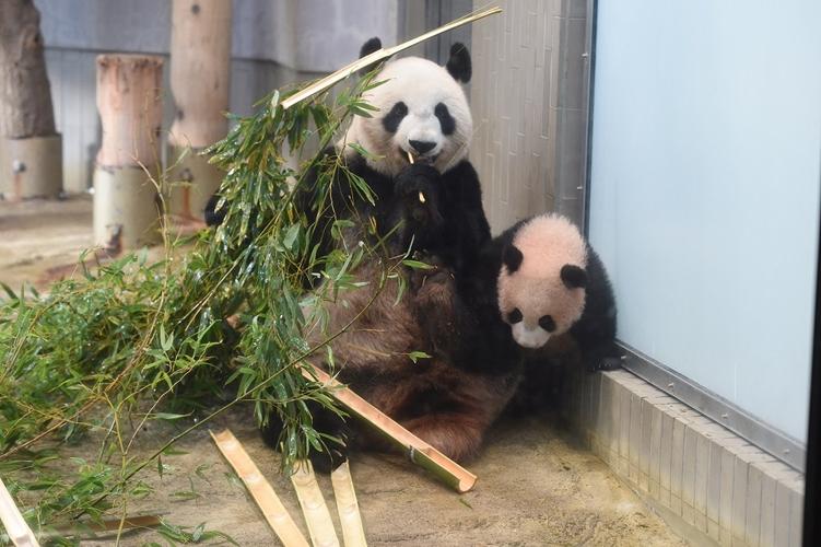 シャンシャンを探せ!リアルタイムの姿を上野動物園がライブ配信で公開!
