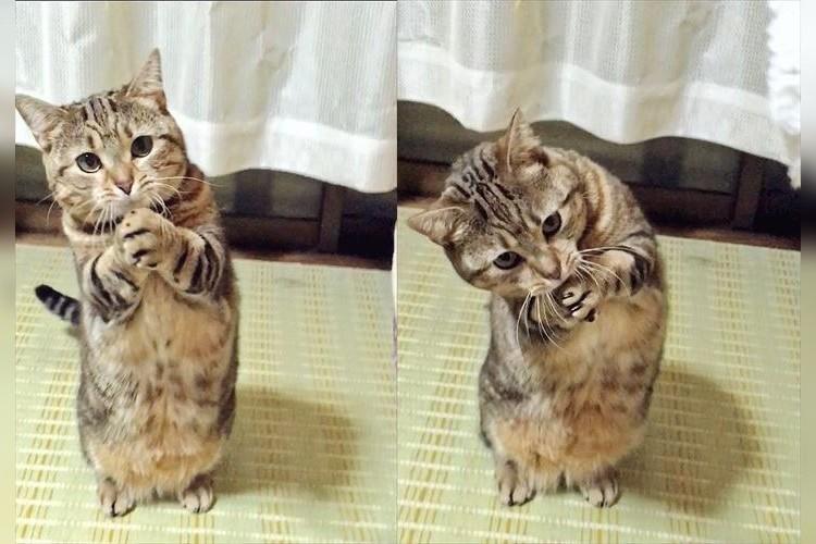 「おねがい♡ちゅ~る買って?」ニャンコのおねだりポーズが可愛すぎ