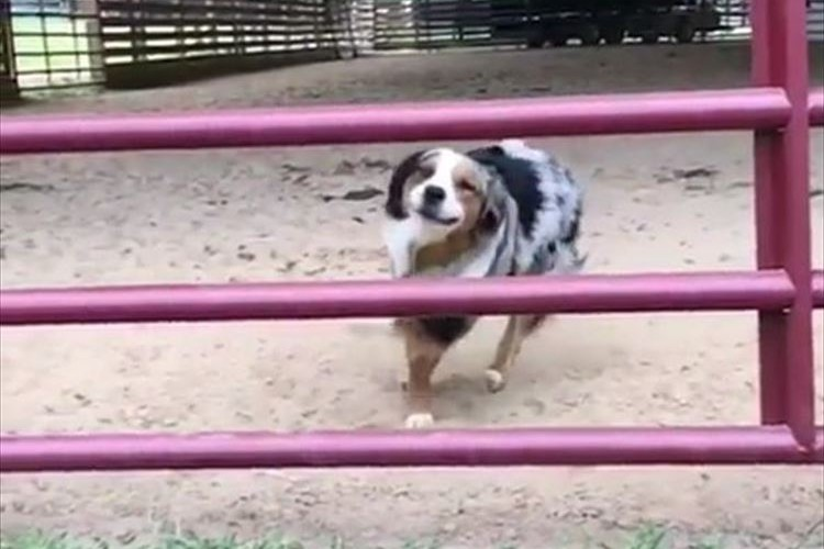 柵に向かって走っていくワンコ…飛び越えるのかと思いきや、驚きのジャンプを見せる!