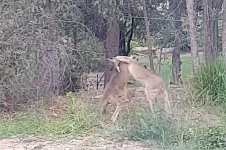 自宅の庭でカンガルー同士の取っ組み合いのケンカが勃発!途中で呼びかけてみると…