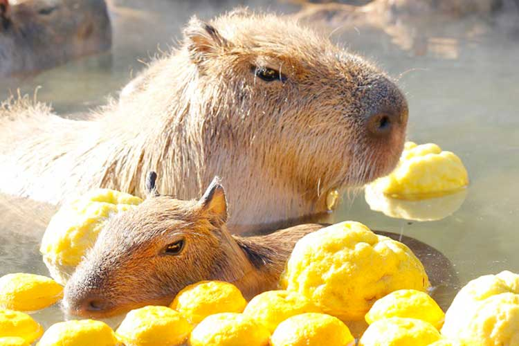 「いい湯だな〜♪」カピバラさん、ぷかぷか柚子湯を満喫…風邪予防にも!