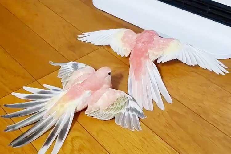 一体何が起こった!?…羽根を広げて静止しているインコちゃんたちの目的は?