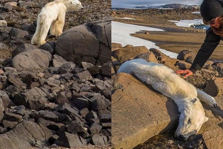 地球温暖化…餓死寸前のホッキョクグマの写真に現状を突きつけられる