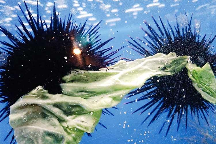 全てが謎すぎる…ウニがキャベツを取り合うという異様な光景が話題に!