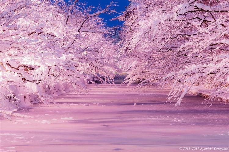 枝に積もった雪はまるで満開のさくらのよう…「冬に咲くさくら」ライトアップがスタート!