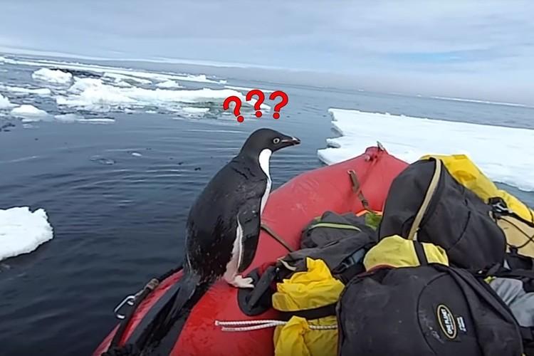 海からピョーン!間違ってゴムボートに上がっちゃったペンギンの戸惑う姿がかわいい!