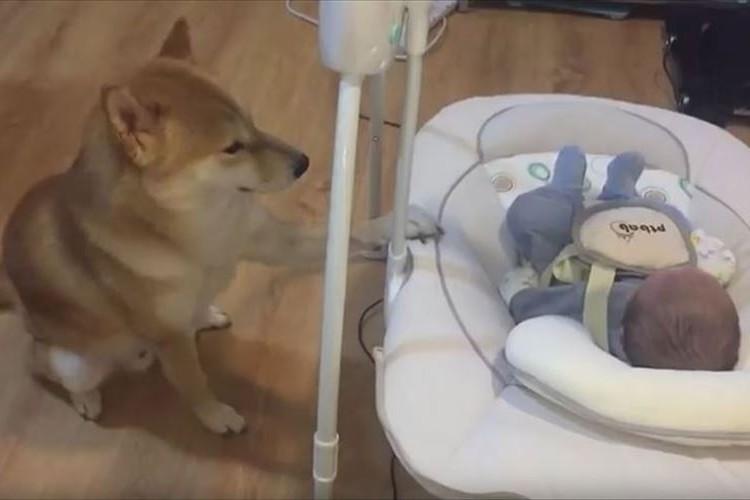【動画】子守をする柴犬…ゆりかごの揺らし加減が絶妙!赤ちゃんもぐっすり♪