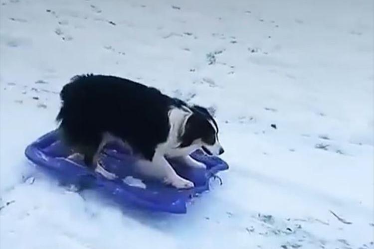 見事にソリを乗りこなす→自分でソリを運んでまた滑る!ワンコがとっても楽しそう♪